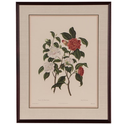 Offset Lithograph After Botanical Illustration of Camellias