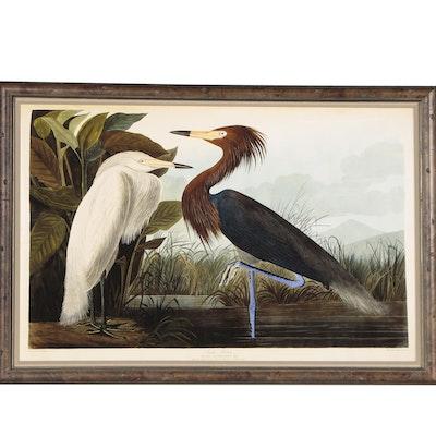 "Giclée after J.J. Audubon ""Purple Heron"", 21st Century"