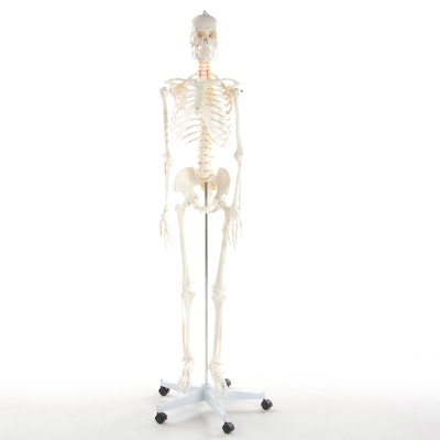 Articulated Life-Size Human Skeleton Model on Mobile Stand
