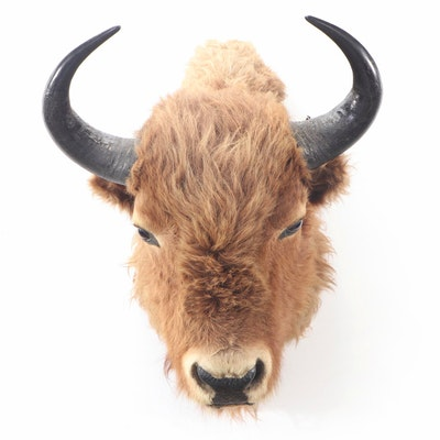 American Plains Bison Taxidermy Head Mount