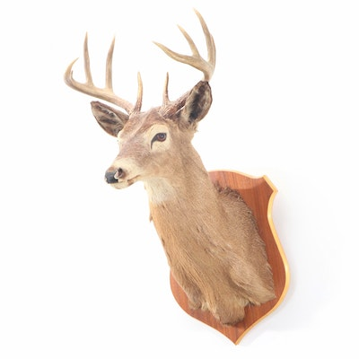 Taxidermy 10 Point White Tail Deer Shoulder Mount