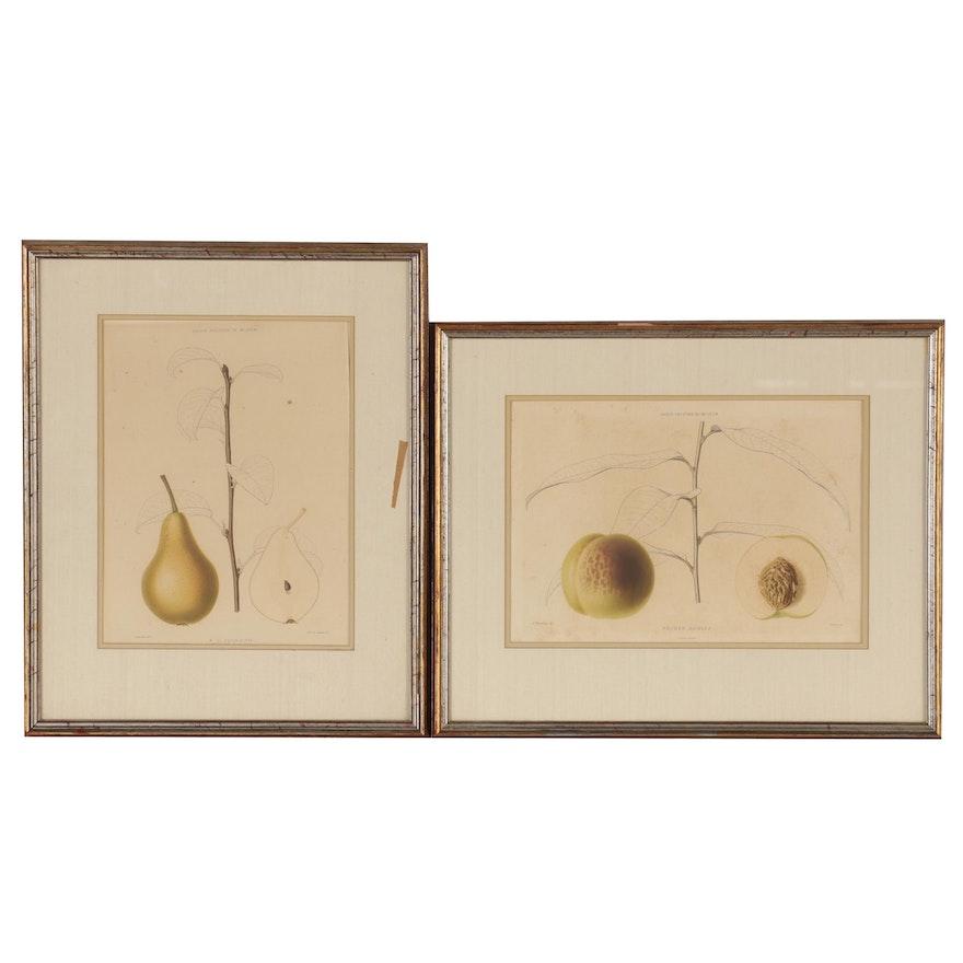 """Chromolithographs After """"Le Jardin Fruitier Du Muséum,"""" 20th Century"""