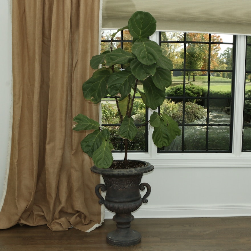 Live Large Fiddle Leaf Fig Plant in Urn
