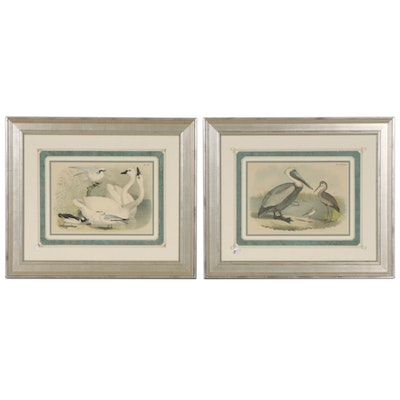 Color Lithographs of Swans and Pelicans