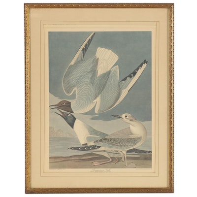 Offset Lithograph after Robert Havell and John James Audubon of Sea Gulls