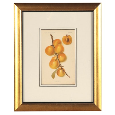 "Botanical Chromolithograph ""Golden Plum,"" 1905"