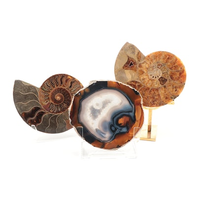 Polished Coiled Ammonoid Slices and Agate Geode Slice