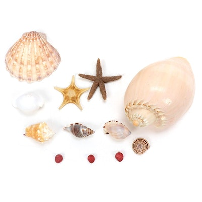 Conch Shells, Clam Shell, Starfish and Other Specimens
