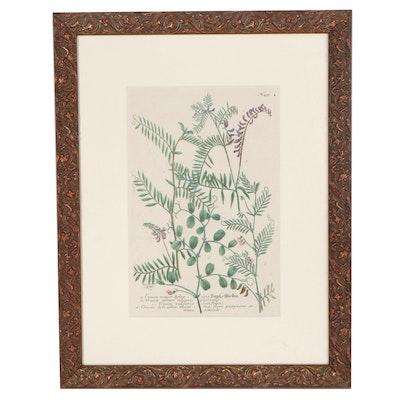 "Botanical Engraving from Johann Weinmann's ""Phytanthoza Iconographia"""