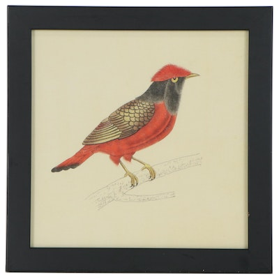Watercolor Painting after Ornithological Illustration of Red Continga