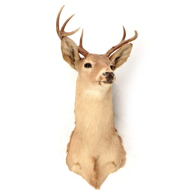 Taxidermy Seven Point White Tailed Buck Shoulder Mount