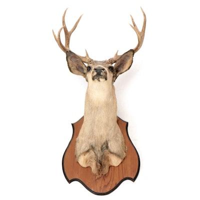 Taxidermy Ten Point Mule Deer Shoulder Mount