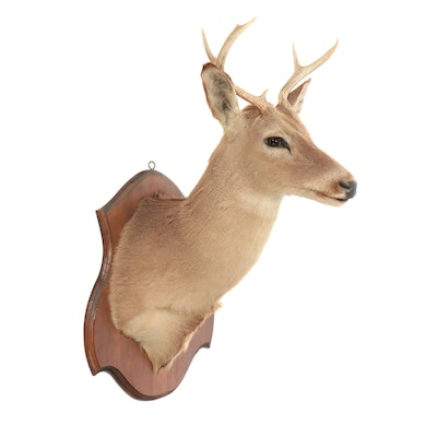 Taxidermy Seven Point White Tailed Deer Shoulder Mount