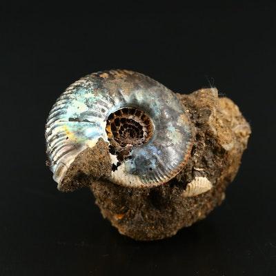 Iridescent Fossilized Ammonite, Saratov Russia Formation, Jurassic Period