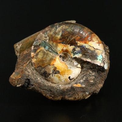 Iridescent Fossilized Ammonite with Belemnite Rostrum, Late Cretaceous