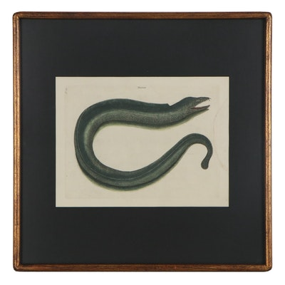 "Mark Catesby Hand-Colored Engraving ""The Muray (Muraena helena),"" 18th Century"