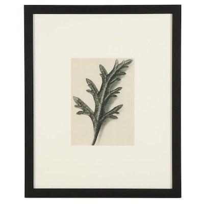 "Karl Blossfeldt Botanical Photogravure ""Homestead Purple,"" 1936"