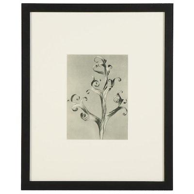 "Karl Blossfeldt Botanical Photogravure ""Larkspur,"" 1936"