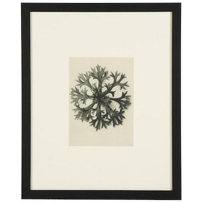 """Karl Blossfeldt Botanical Photogravure """"Rockfoils,"""" 1936"""