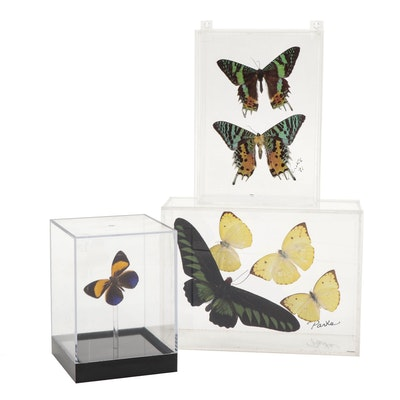 Mounted Taxidermy Butterfly and Moth Specimens in Acrylic Displays