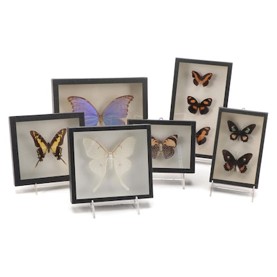 Mounted Taxidermy Butterfly and Moth Specimens in Shadow Box Displays