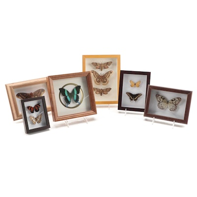 Taxidermy Butterfly and Moth Specimens in Shadow Box Display Frames