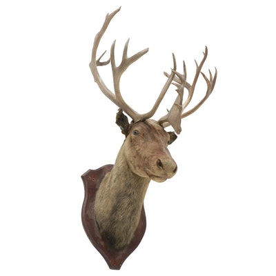 Taxidermy Caribou Bull Shoulder Mount