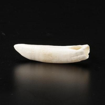 Alligator Tooth