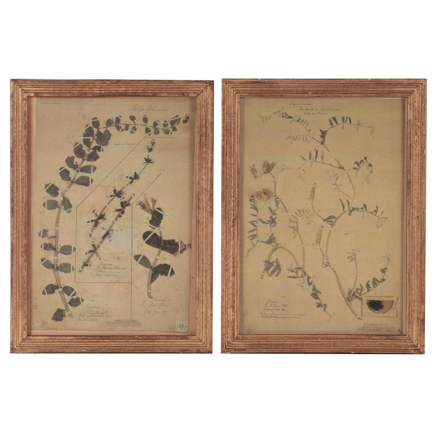 Offset Lithographs of Botanical Specimens