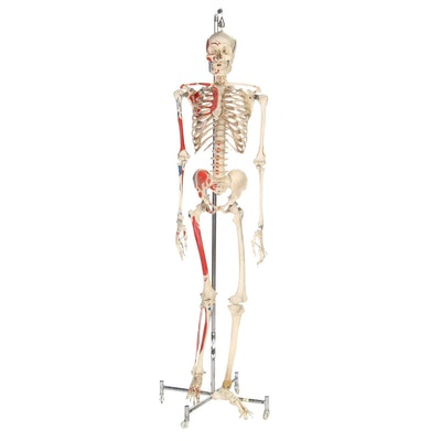 Articulated Life-Size Human Skeleton Model with Painted Ligaments and Muscles