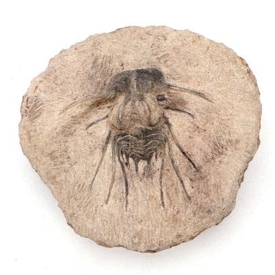Dicranurus Monstrosus Trilobite Composite Fossil Specimen