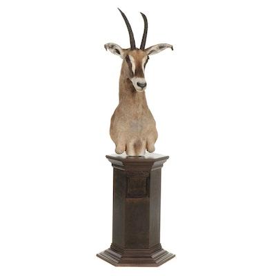Taxidermy Roan Antelope Shoulder Mount on Pedestal Base