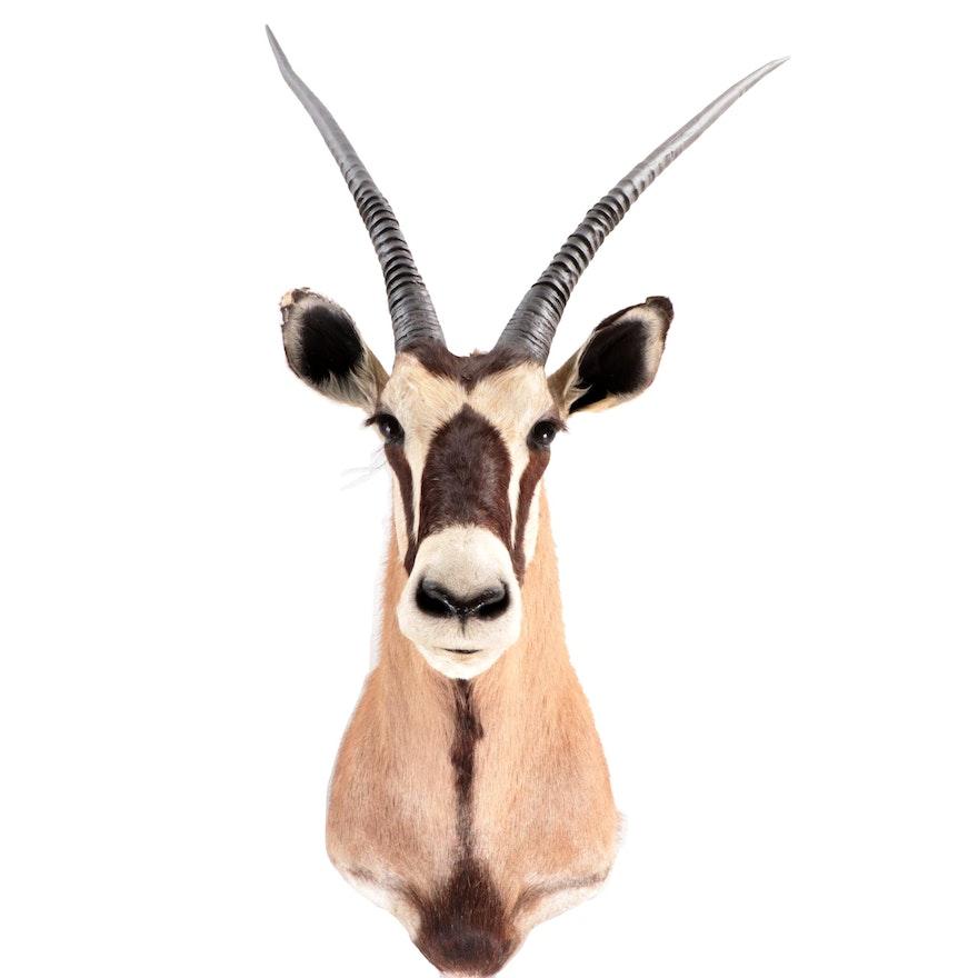 Taxidermy South African Gemsbok Shoulder Mount