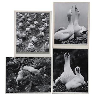 """Grant Haist Silver Print Photographs """"Gannets Nesting"""" and More"""