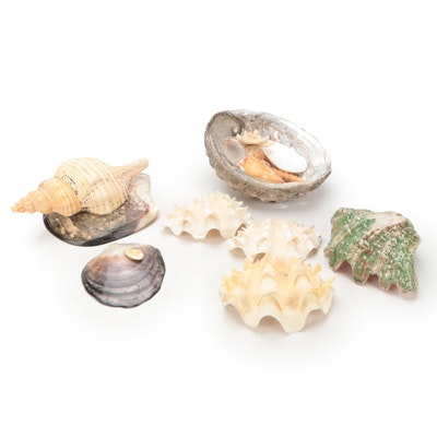 Clam Shells, Abalone, Horse Conch, Knobby Starfish and More