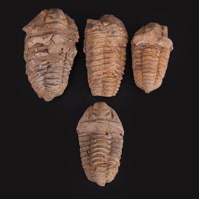 Calymene Trilobite Fossil Specimens