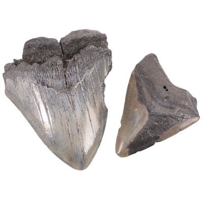 Fossilized Megalodon Tooth Specimens