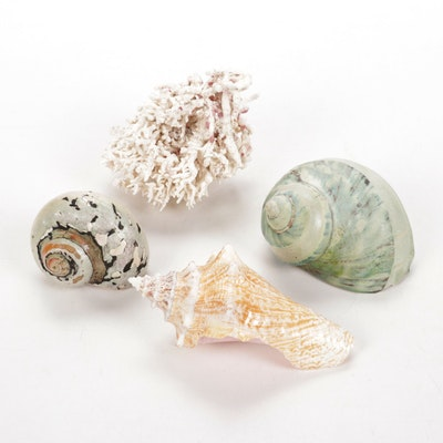 Green Banded and Sarmaticus Turbo Shells, Conch Shell and Coral Specimens