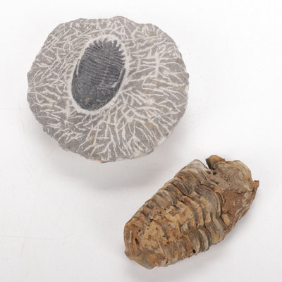 Two Trilobite Fossils