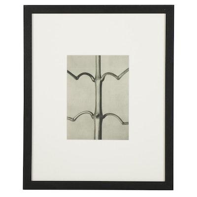 "Botanical Photogravure After Karl Blossfeldt ""Impatient,"" 1936"